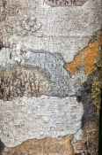 dismal-swamp;the-tarkine;tarkine;blackwood-sinkole;tarkine-sinkholes;northwest-tasmania;tasmainia;tassie;tasmania-forests;forestry-tasmania;tree-trunk-detail;tree-bark