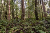 south-arthur-forest-drive;the-tarkine;tarkine;northwest-tasmania;tasmania-forests;tasmania;tassie;eucalypt-and-myrtle-rainforest;temperate-rainforest;rainforest-ferns
