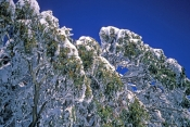 mt-buller;alpine-national-park;eucalyptus-leaves;frosted-leaves;leaves-covered-with-snow;victorian-alps