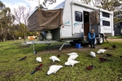 camping;campground;parrots-in-campground;grampians-parrots;halls-gap-lakeside-tourist-park;grampians