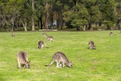camping;campground;kangaroos-in-campground;grampians-kangaroos;kangaroos-in-field;halls-gap-lakeside-tourist-park;grampians-national-park