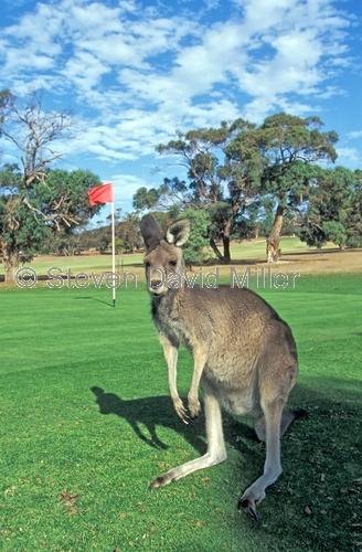 anglesea golf club;great ocean road;kangaroos on golf course;golfing kangaroos;funny golf courses;australian golf courses;victorian golf courses;anglesea;victoria;eastern grey kangaroos;kangaroos