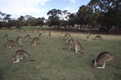 AUSTRALIA;FEEDING;GROUPS;KANGAROOS;LANDSCAPES;LEISURE;MACROPUS-GIGANTEUS;MAMMALS;MARSUPIALS;URBAN;VERTEBRATES;grazing