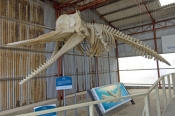 whale-world;whaling-in-western-australia;whaling-station;albany;albany-attractions;albany-whaling-station;sperm-whale-skeleton;Physeter-macrocephalus-skeleton;whale-skeleton;historic-whaling-station