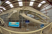whale-world;whaling-in-western-australia;whaling-station;albany;albany-attractions;albany-whaling-station;pygmy-blue-whale-skeleton;balaenoptera-musculus-brevicauda-skeleton;whale-skeleton