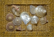 shells;basket-of-shells;broome-shells;turban-shells;pearl-oyster-shells;broome