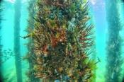 busselton-jetty;busselton-underwater-observatory;busselton;invertebrate-marine-life;invertebrates