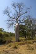 boab-tree;adansonia-gregorii;kimberley