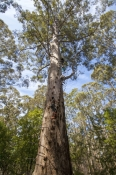 fire-lookout-tree;gloucester-tree;gloucester-national-park;pemberton-forest-drive;pemberton;western-australia-forest-drive