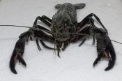 marron;freshwater-crayfish;cherax-tenuimanus;marron-farm;farmed-crayfish;pemberton