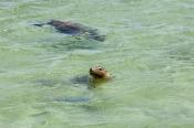 penguin-island;rockingham;kayaking;sea-lion;sea-lion;australian-sea-lion;neophoca-cinerea