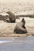 penguin-island;rockingham;sea-lion;australian-sea-lion;sea-lion;neophoca-cinerea