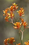 kangaroo-paw;family-haemodoraceae;perth;kings-park