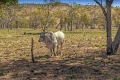 brahman-bull;kimberley-brahman-bull;kimberley-station-brahman-bull;parry-creek-farm;old-halls-creek-track;wyndham;kimberley;western-australia;steven-david-miller