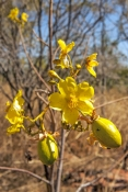 kapok-brush;kapok-flower;yellow-flower;kimberley-flower;cochlospermum-fraseri;parry-creek-farm;old-halls-creek-track;creek;wyndham;kimberley;the-kimberley