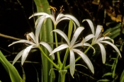 swamp-lily-picture;swamp-lily;swamp-plant;cypress-swamp;corkscrew-swamp-sanctuary;florida-swamp;swamp