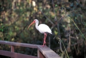 corkscrew-swamp-sanctuary;cypress-swamp;white-ibis;corkscrew-swamp-sanctuary-boardwalk;boardwalk;bird-on-boardwalk;bird-on-corkscrew-swamp-sanctuary-boardwalk