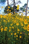 corkscrew-swamp-sanctuary-picture;corkscrew-swamp-sanctuary;audubon-sanctuary;florida-swamp;pineland;wet-prairie;cypress-swamp;yellow-wildflowers;sunflowers;swamp-sunflower;Helianthus-angustifolius