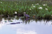 anhinga-trail;anhinga-boardwalk;royal-palm;everglades-national-park;florida-national-park;freshwater-slough