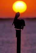 key-largo;key-largo-sunset;florida-bay;florida-bay-sunset;upper-florida-keys;florida-keys;brown-pelican;silhouette;pelican-silhouette;florida-sunset