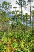 little-pine-island;little-pine-island-wetland-mitigation-bank;wetland-mitigation-bank;southwest-florida-wetland-mitigation-bank;slash-pine;saw-palmetto