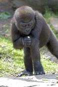 western-lowland-gorilla;lowland-gorilla;gorilla;gorilla-eating;gorilla-gorilla;taronga-zoo;primate;great-ape