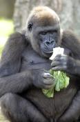 western-lowland-gorilla;lowland-gorilla;gorilla;gorilla-eating;gorilla-gorilla;taronga-zoo;primate;great-ape;male-gorilla