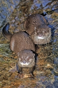asian-small-clawed-otter;asian-otter;asian-small-clawed-otter;otter;otter-from-asia;Amblonyx-cinereus;underwater-world;sunshine-coast-underwater-world