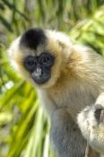 white-cheeked-gibbon;gibbon;female-gibbon;captive-gibbon;adelaide-zoo;Nomascus-leucogenys;asian-primate;indonesian-primate;lesser-ape