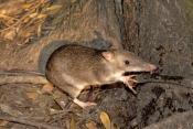 bandicoot;long-nosed-bandicoot;perameles-nasuta;bandicoot-eating;atherton-tablelands;lake-eacham;eacham;north-queensland;small-marsupials;cute-little-animal;brown-furry-animal