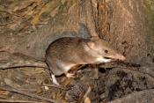 bandicoot;long-nosed-bandicoot;perameles-nasuta;bandicoot-eating;atherton-tablelands;lake-eacham;eacham;north-queensland;small-marsupials;cute-little-animal;brown-furry-animal;steven-david-miller
