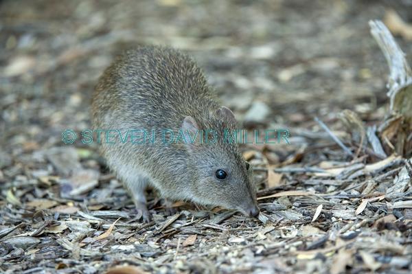 australian marsupial;small marsupial