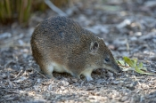 Bettongs and Potoroos