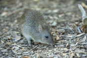 australian-marsupial;small-marsupial