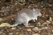 rufous-bettong;rufous-rat-kangaroo;aepyprymnus-rufescens;australian-native-animal;australian-marsupial;small-marsupial;cute-little-animal