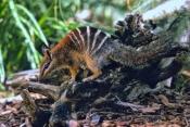 numbat-picture;numbat;myrmecobius-fasciatus;numbat-eating;numbat-eating-termites;perth-zoo;captive-numbat-breeding-program;captive-numbat;perth-zoo;carnivorous-marsupial;marsupial;australian-marsupials;cute-little-animal