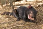tasmanian-devil;sarcophilus-harrisi;tasmanian-wildlife-park;tasmanian-devil-eating;juvenile-tasmanian-devil;tasmania;animal-eating;carnivorous-marsupial-eating