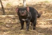 tasmanian-devil;sarcophilus-harrisi;tasmanian-wildlife-park;juvenile-tasmanian-devil;tasmania;carnivoros-marsupial;australian-marsupials