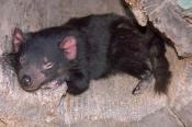tasmanian-devil;sarcophilus-harrisi;tasmanian-wildlife-park;tasmania;something-wild-wildlife-park;australian-marsupials;carnivoros-marsupial;tasmanian-devil-sleeping
