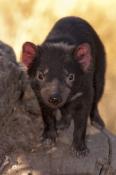 tasmanian-devil;sarcophilus-harrisi;tasmanian-wildlife-park;tasmania;something-wild-wildlife-park;australian-marsupials;carnivoros-marsupial