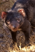 tasmanian-devil;sarcophilus-harrisi;tasmanian-wildlife-park;tasmania;something-wild-wildlife-park;australian-marsupials;carnivoros-marsupial;eye-contact;animal-looking-in-camera