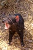tasmanian-devil;sarcophilus-harrisi;tasmanian-wildlife-park;tasmania;something-wild-wildlife-park;australian-marsupials;carnivoros-marsupial;tasmanian-devil-with-mouth-open;animal-with-mouth-open