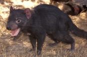 tasmanian-devil;sarcophilus-harrisi;tasmanian-wildlife-park;tasmania;something-wild-wildlife-park;australian-marsupials;carnivoros-marsupial;tasmanian-devil-with-mouth-open;animal-with-mouth-open;teeth;animal-teeth