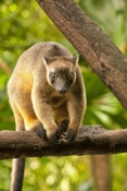 tree-kangaroo-picture;tree-kangaroo;bennetts-tree-kangaroo;bennetts-tree-kangaroo;dendrolagus-bennettianus;kangaroo-in-tree;rare-kangaroo;tree-kangaroo-portrait;tree-kangaroo-vertical-picture;tree-kangaroo-claws;arboreal-kangaroo;far-north-queensland;atherton-tableland;wet-tropics
