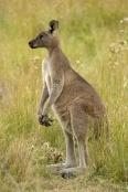 Gariwerd;eastern-gray-kangaroo