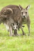 eastern-grey-kangaroo-with-joey-picture;eastern-grey-kangaroo-with-joey;grey-kangaroo-with-joey;kangaroo-with-joey;macropus-giganteus;kangaroo-in-grass;kangaroo-leating-grass;kangaroo-with-baby;kangaroo-portrait;grampians-national-park;australian-marsupials;australian-national-parks;victoria-national-park;victorian-national-parks;steven-david-miller
