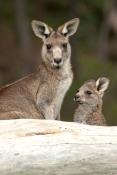 eastern-grey-kangaroo-with-joey-picture;eastern-grey-kangaroo-with-joey;grey-kangaroo-with-joey;kangaroo-with-joey;macropus-giganteus;joey-with-mother;kangaroo-with-baby;mother-and-child-portrait;kangaroo-eating-grass;grampians-national-park;australian-marsupials;australian-national-parks;victoria-national-park;victorian-national-parks;steven-david-miller