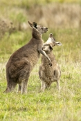 eastern-grey-kangaroo-mother-and-joey-playing-picture;eastern-grey-kangaroo-mother-and-joey-playing;grey-kangaroo-mother-and-joey-playing;kangaroo-with-joey-playing;macropus-giganteus;joey-and-kangaroo-playing;kangaroo-playing-portrait;grampians-national-park;australian-marsupials;australian-national-parks;victoria-national-park;victorian-national-parks;steven-david-miller