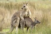 eastern-grey-kangaroo-mating-picture;eastern-grey-kangaroo-mating;eastern-gray-kangaroo-mating;grey-kangaroo-mating;gray-kangaroo-mating;macropus-giganteus;kangaroo-mating;kangaroos-mating;grampians-national-park;australian-marsupials;australian-national-parks;victoria-national-park;victorian-national-parks;steven-david-miller
