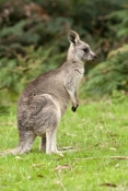 eastern-grey-kangaroo-picture;eastern-grey-kangaroo;eastern-gray-kangaroo;female-eastern-grey-kangaroo;grey-kangaroo;gray-kangaroo;macropus-giganteus;grampians-national-park;australian-marsupials;australian-national-parks;victoria-national-park;victorian-national-parks;steven-david-miller